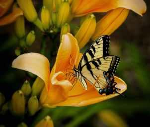 butterfly-swallowtail-papilio-animal-67811.jpeg